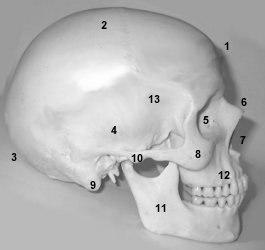 ostéologie: CRÂNE,vertèbres,sternum,coccyx,cotes Pcrane
