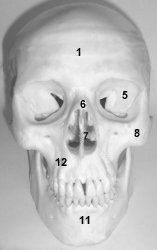 ostéologie: CRÂNE,vertèbres,sternum,coccyx,cotes Pcrane2