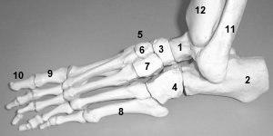 ostéologie du membre inférieurs  Ppied2