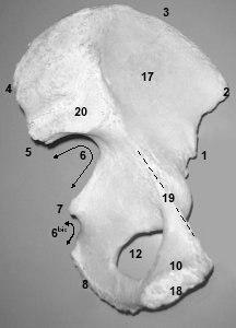 ostéologie du membre inférieurs  Piliaque4